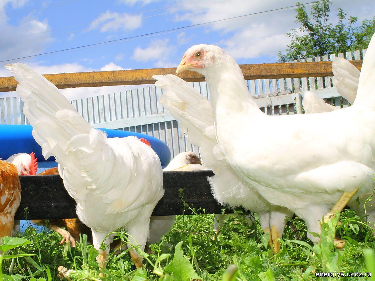 Яєчна порода кур Російські білі