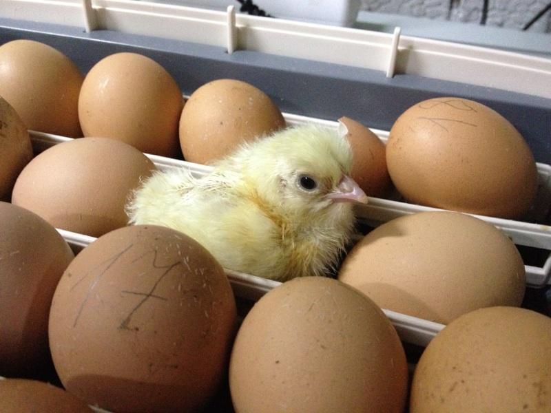 Режими інкубації яєць домашньої птиці