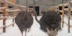 Розведення страусів може принести гарний прибуток
