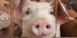Дизентерія свиней