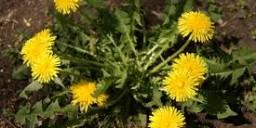 Кульбаба – перша весняна вітамінна рослина