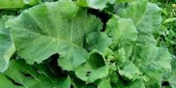 Лопух – лікарська та кормова рослина