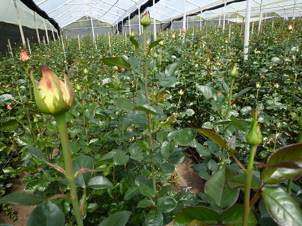 Вирощування троянд на зріз  - вигідний бізнес