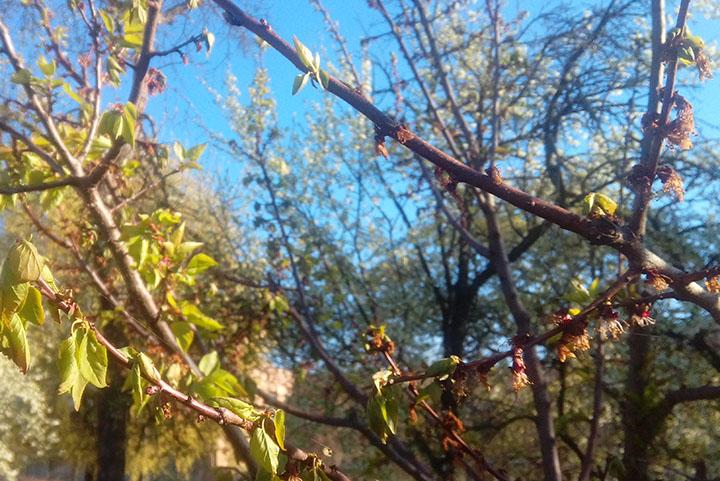 Гілки абрикосу уражені моніліозом