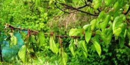 Захист абрикоса від моніліозу
