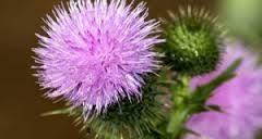 Розторопша – чудодійна рослина