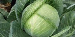 Як отримати великі качани капусти