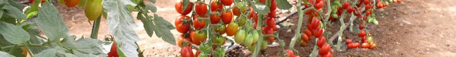 Рослина помідора, сформована в один стовбур