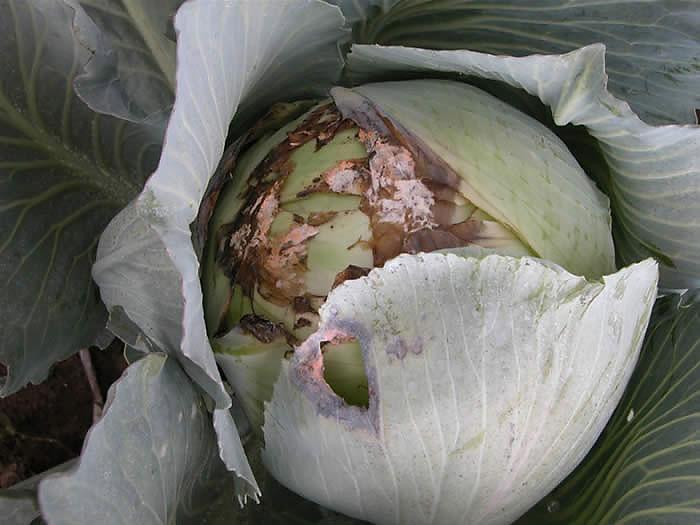 Хвороби капусти