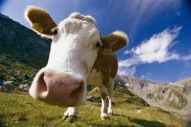 Особливості годівлі корови до і після отелення