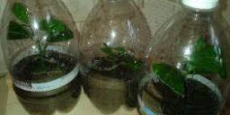Розмноження цитрусових культур