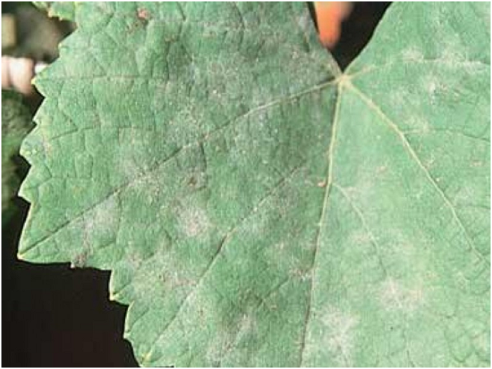 Так виглядає оїдіум винограду на листях