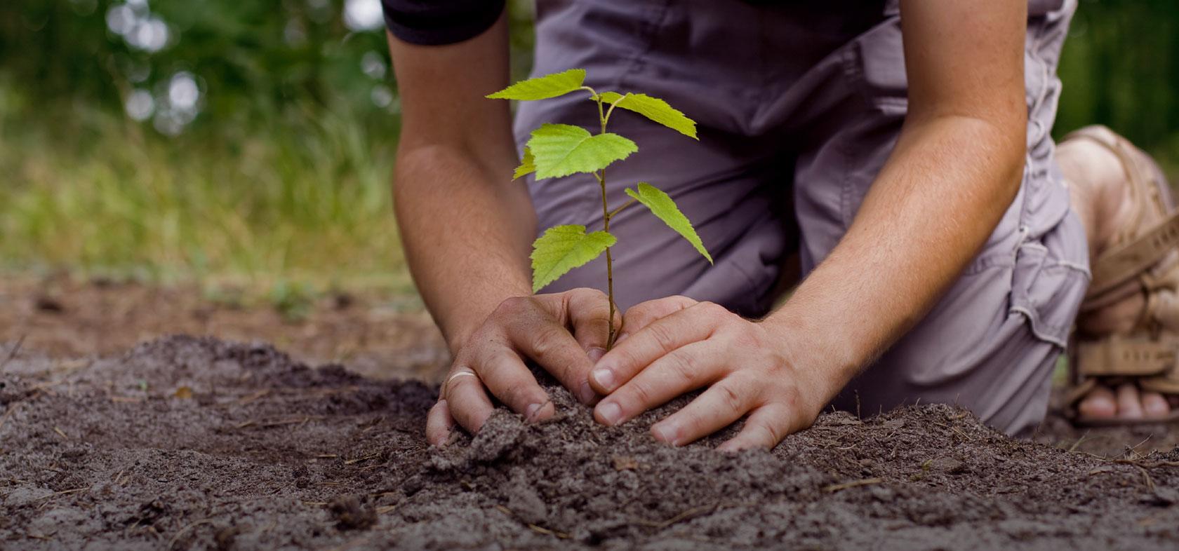 Садіння саджанців калини