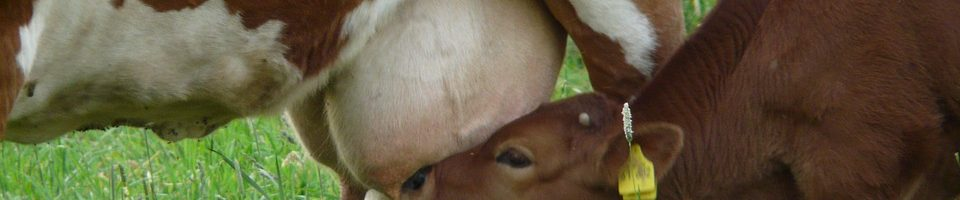 мастит у корови