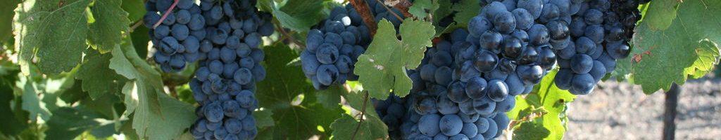 Технічні сорти й гібриди винограду