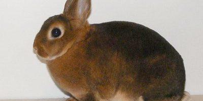 Кролики породи рекс – найвигідніші
