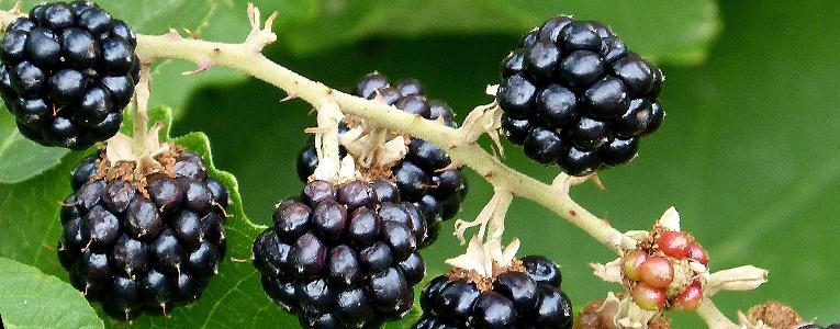 біологічні властивості ожини
