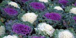 Вирощуємо декоративна капуста