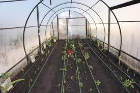 Вирощування овочів у неопалюваній теплиці