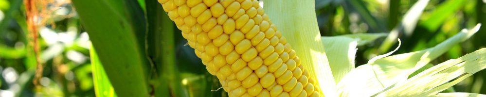 Ущільнені посіви кукурудзи