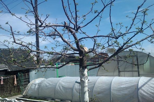 Обрізка яблуні