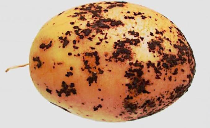 Бульба картоплі заражена патогенним грибком Ризоктонія