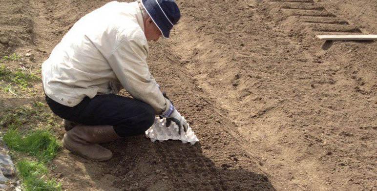 Підготовка землі і грядки для осінньої посадки часнику