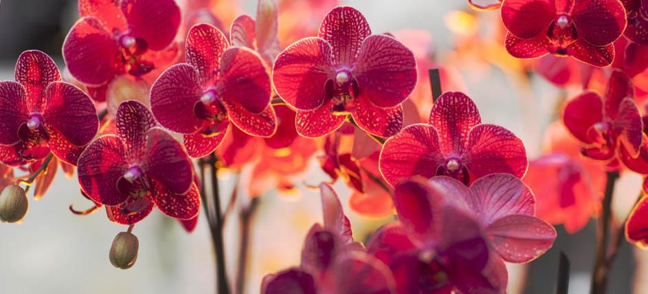 Що зробити, щоб орхідеї зацвіли
