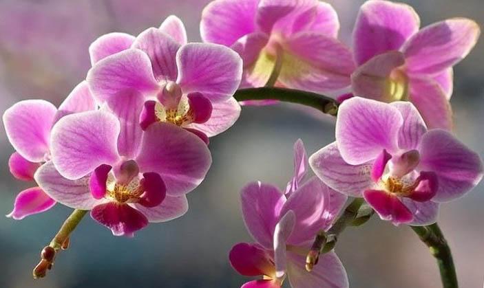 Що не можна робити коли орхідея цвіте