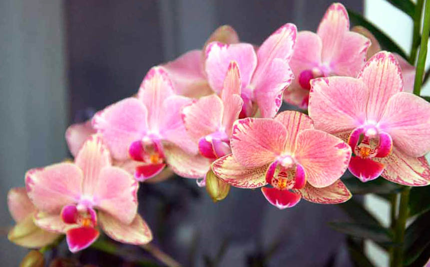 Чому не цвіте орхідея: пошук причини