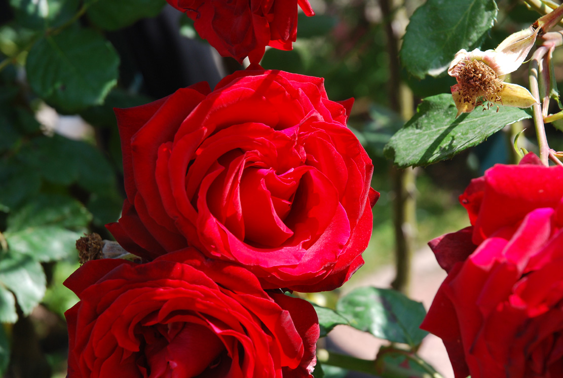 розы питомника Дельбар