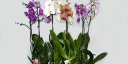 Орхідеї сорту Валенопсіс
