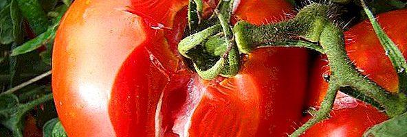 Як врятувати помідори в дощову погоду